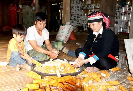 Chuyển đổi cơ cấu giống ngô giúp đồng bào Dao xã Thanh Đức (Vị Xuyên) nâng cao hiệu quả kinh tế.